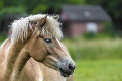 Brown koń z płytką głębią pole Zdjęcia Royalty Free