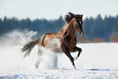 Brown koński cwałowanie w zimie Fotografia Royalty Free