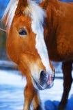 Brown Koński Haflinger w śnieżnym Kontakt wzrokowy zdjęcie stock