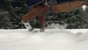 Brown koński kłusować przez białej śnieżnej koc Potężny brown wałach kroczy na polu zakrywającym z suchym prochowym śniegiem zbiory