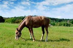 Brown koński karmienie na lata greenfield nieociosana scena obraz stock