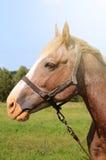 Brown koński karmienie na lata greenfield nieociosana scena fotografia royalty free