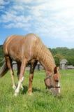 Brown koński karmienie na lata greenfield nieociosana scena zdjęcie royalty free