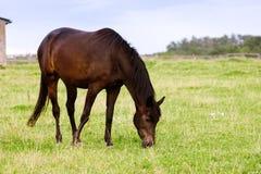 Brown koński pasanie na paśniku Zdjęcie Stock