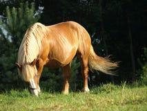 Brown koń Zdjęcie Royalty Free