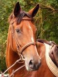 Brown koń Obrazy Royalty Free