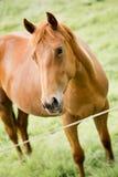 Brown koń Fotografia Stock