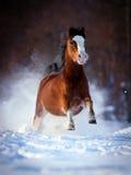 Brown koń biega w zima lesie. Zdjęcia Royalty Free