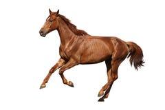 Brown koń cantering swobodnie odizolowywający na bielu Zdjęcie Stock