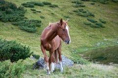 Brown koń w Karpackich górach Zdjęcia Stock