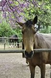 Brown koń za ogrodzeniem Fotografia Royalty Free