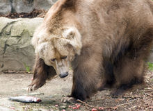 Brown kodiak bear. About to eat a dead fish Royalty Free Stock Images