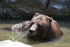 Brown kodiak bear bathing in the wild. Waters Stock Images
