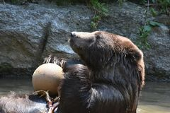 Brown Kodiak bear playing with a ball. Cute brown kodiak bear plaing with a ball while bathing Stock Photos