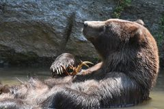 Brown Kodiak grizzly folding its arms while floating. Brown Kodiak grizzly floating on its back while folding its arms Stock Photography