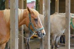 Brown konie stoi w stajence fotografia royalty free