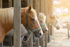 Brown konie stoi w stajence obrazy royalty free