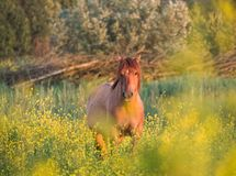 Brown konik horse and mostard seed in nature reserve. Light brown konik horse in field of mustard seed in nature reserve royalty free stock image