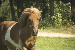 Brown konika koń Zdjęcie Stock