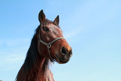 Brown-Kopf eines Pferds Lizenzfreie Stockfotos