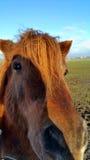 Brown końska głowa Zdjęcie Royalty Free