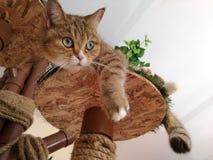 Brown kota spojrzenia out strona z zielonymi oczami Zdjęcie Royalty Free