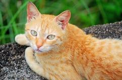 Brown kota zbliżenie Zdjęcia Stock