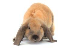brown królik Obrazy Stock