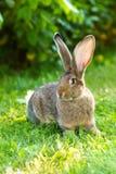 Brown królik blisko krzaka Obrazy Stock