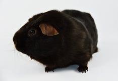 Brown królik doświadczalny 01 Zdjęcie Stock