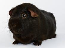 Brown królik doświadczalny 03 Zdjęcie Royalty Free