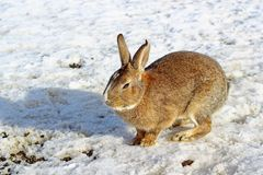 Brown królik przy gospodarstwem rolnym Obrazy Royalty Free