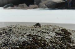 Brown krab na kamiennej pozyci Zdjęcia Royalty Free
