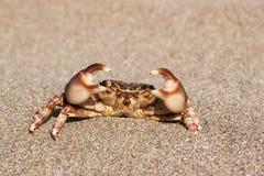 Brown krab na piasku Zdjęcie Royalty Free