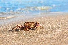 Brown krab na plaży powierzchni tle Zdjęcie Royalty Free