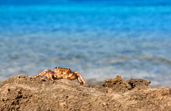 Brown krab na skale Zdjęcie Royalty Free