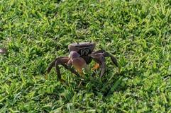 Brown krab na trawy pozyci Zdjęcie Royalty Free