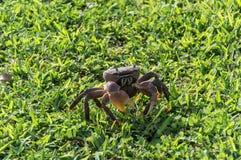 Brown krab na trawy pozyci Zdjęcia Stock
