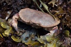 Brown-Krabbe (Krebs Pagarus) Stockbilder