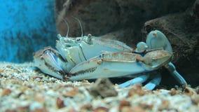 Brown-Krabbe Krebs Pagurus im Meer stock video