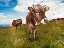 brown krowa Obraz Royalty Free