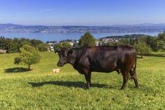 Brown krowa i Zurich jezioro, Szwajcaria Obraz Stock