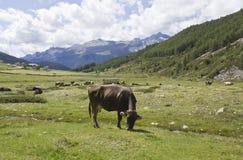 Brown krowa je trawy Zdjęcia Stock