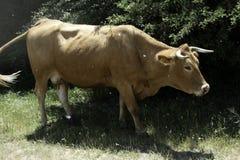Brown krowa makro- zdjęcie stock