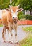 Brown krowa na drodze Obraz Royalty Free