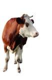 Brown krowa odizolowywająca na białym tle Zdjęcia Royalty Free