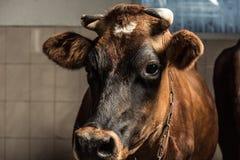 Brown krowa patrzeje kamerę w kramu Zdjęcie Stock