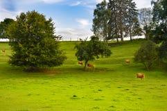 Brown krowa w łące Zdjęcie Royalty Free