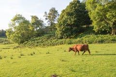 Brown krowa w Szkockim średniogórza polu Obraz Royalty Free