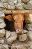 Brown krowy głowa przez małego kamiennego okno zdjęcie royalty free